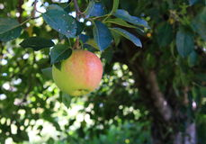 Apple em uma árvore Imagem de Stock