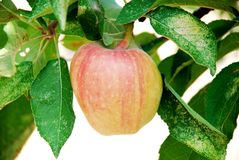Apple em uma árvore Fotos de Stock