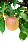 Apple em uma árvore Fotografia de Stock