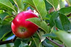 Apple en árbol Fotografía de archivo