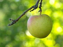 Apple en árbol Imágenes de archivo libres de regalías
