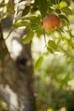 Apple en árbol Imagenes de archivo