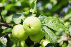 Apple en árbol foto de archivo