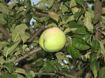 Apple en el árbol fotos de archivo libres de regalías