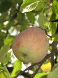 Apple en el árbol imágenes de archivo libres de regalías
