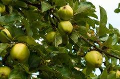 Apple en el árbol Imagen de archivo libre de regalías