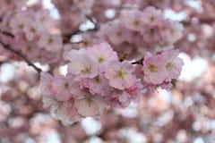 Apple en fleur image stock
