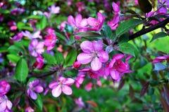 Apple en flor Imagen de archivo
