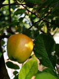 Apple en manzano Fotos de archivo