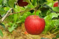 Apple en árbol Imagen de archivo libre de regalías