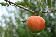 Apple en un árbol Foto de archivo
