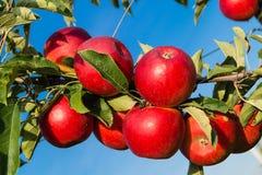 Apple ernten Hamburg stockbild