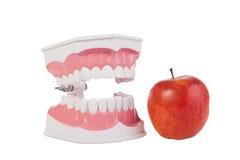 Apple et modèle de dents humaines/santé dentaire Image libre de droits