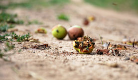 Apple falling to the ground Royalty Free Stock Photos