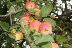 Apple Family. Red apples hanging on a branch Royalty Free Stock Image