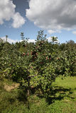 From apple farm. View from apple farm with blue sky Stock Photos
