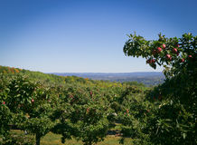 Apple farm on hill overlooking Hudson Valley Royalty Free Stock Images