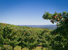 Apple farm on hill overlooking Hudson Valley Stock Image