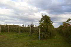 Apple Farm in New Zealand. With Cloudy Day Stock Photography