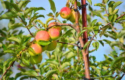 Apple Farm Royalty Free Stock Photography