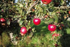 apple in the farm royalty free stock image