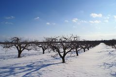 Apple farm on winter with blue clouds Stock Image