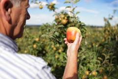 Apple farmer Stock Photos