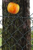 Apple on fence Stock Photography