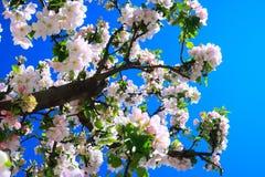 Apple filialblomning, blå himmel Arkivbild