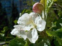 Apple-fiore con la casa della città nel fondo Fotografie Stock