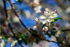 Apple fleurissent image stock