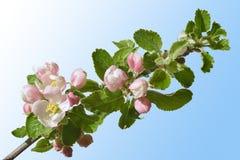 Apple fleurissent Image libre de droits