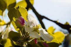 Apple fleurissent arbre images libres de droits