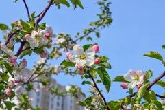 Apple fleurissent au printemps Photo stock