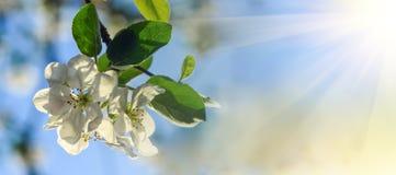 Apple fleurissent au soleil Photographie stock libre de droits