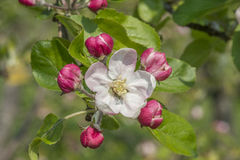 Apple fleurissent avec des bourgeons Images libres de droits