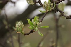 Apple fleurissent bourgeon Photo libre de droits