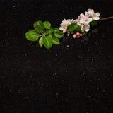 Apple fleurissent branche sur la partie supérieure du comptoir de granit de galaxie d'étoile Photographie stock