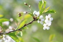 Apple fleurissent dans le jardin images stock