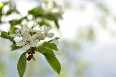 Apple fleurissent dans le jardin photo stock