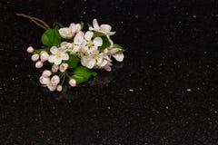 Apple fleurissent des branches sur la partie supérieure du comptoir de granit de galaxie d'étoile Photos libres de droits