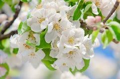 Apple fleurissent, fleurissant sur le pommier après des chutes de neige de ressort Image stock