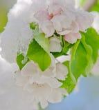 Apple fleurissent, fleurissant sur le pommier après des chutes de neige de ressort Photo libre de droits