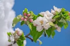 Apple fleurissent, fleurissant sur le pommier après des chutes de neige de ressort Photos libres de droits