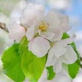 Apple fleurissent, fleurissant sur le pommier après des chutes de neige de ressort Photos stock