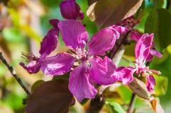 Apple fleurissent la couleur rose Photos stock