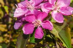 Apple fleurissent la couleur rose Images stock