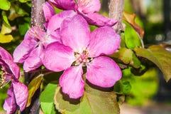 Apple fleurissent la couleur rose Photographie stock