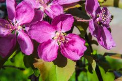 Apple fleurissent la couleur rose Photo libre de droits
