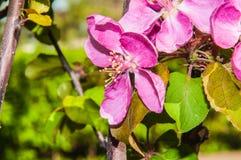 Apple fleurissent la couleur rose Photos libres de droits